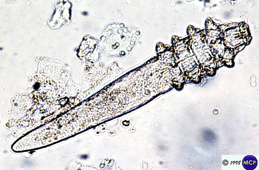 Demodex-canis